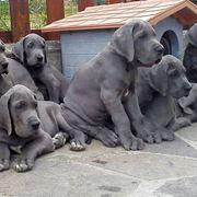 Cuccioli di alano blu