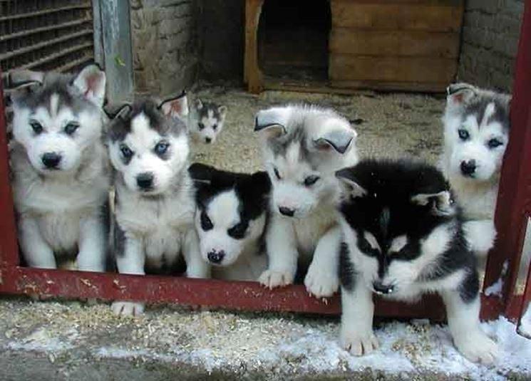 Cucciolata di Alaskan husky