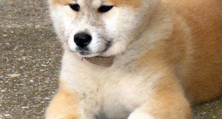 Cucciolotto di akita