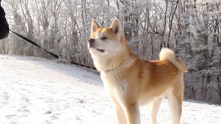 Akita nella neve