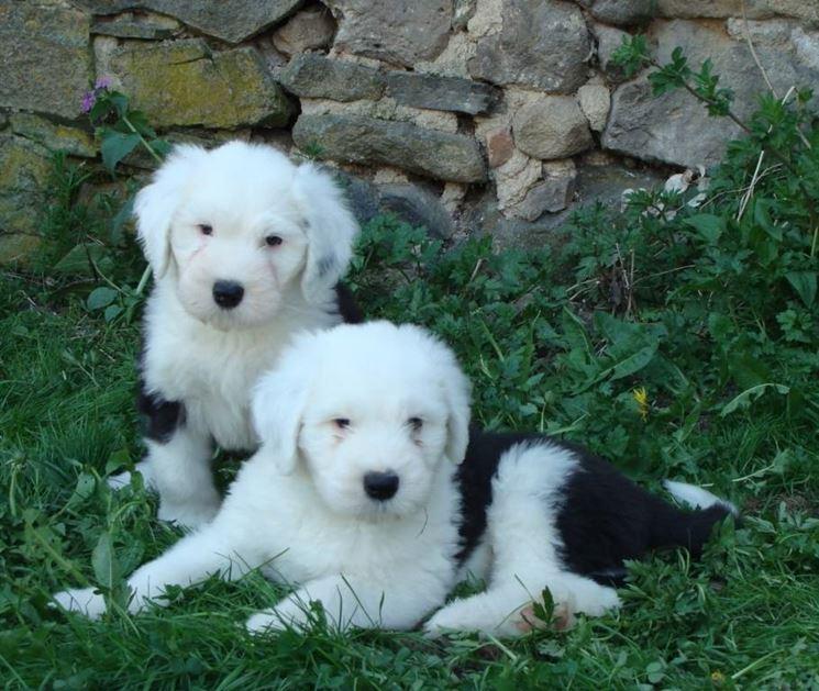 Cuccioli di Bobtail