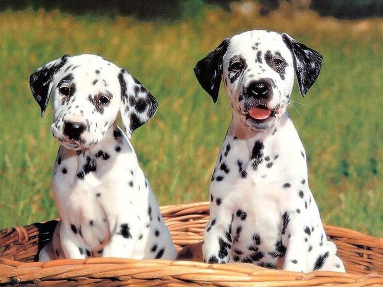 Cuccioli di Dalmata
