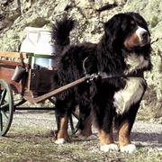 bovaro del bernese: cavallo dei poveri