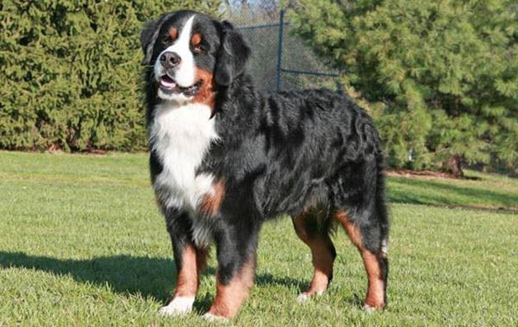 Berner sennenhund - Cani Taglia Grande - Bovaro del bernese (Berner ...