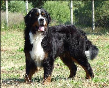 Il bovaro bernese è un cane forte e robusto