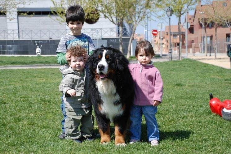 Il bovaro del barnese ama i bambini