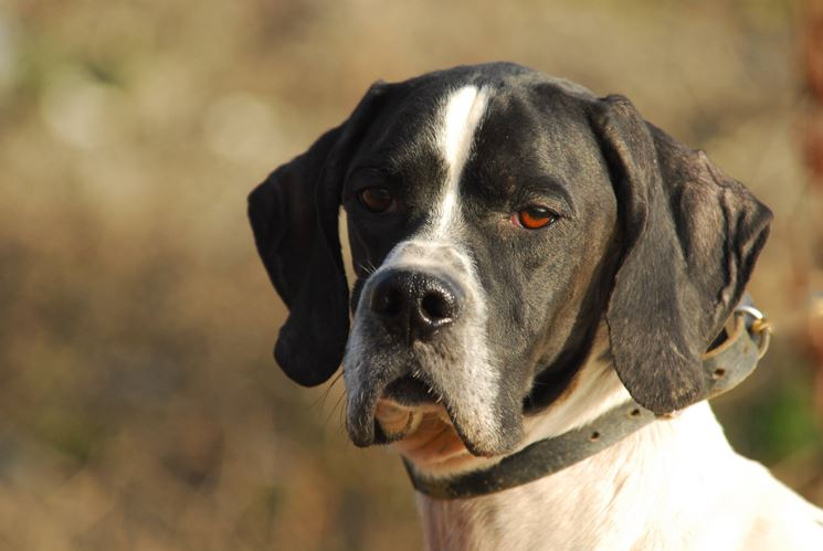 Bracco pointer
