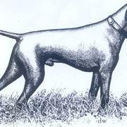 Illustrazione primi esemplari di bracco tedesco