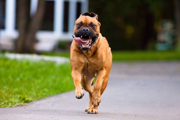 Bullmastiff di corsa