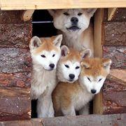 Cuccioli cane akita