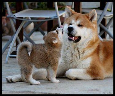 Cane akita adulto e cucciolo