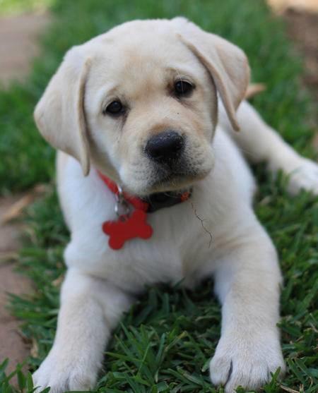 Labrador Retriever: Razza - Descrizione - Carattere - Cuccioli - Foto 63