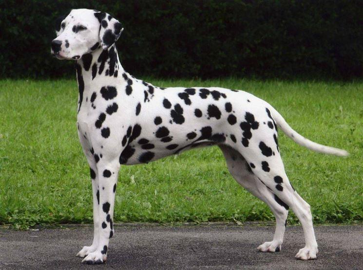 Il dalmata è un cane forte e muscoloso