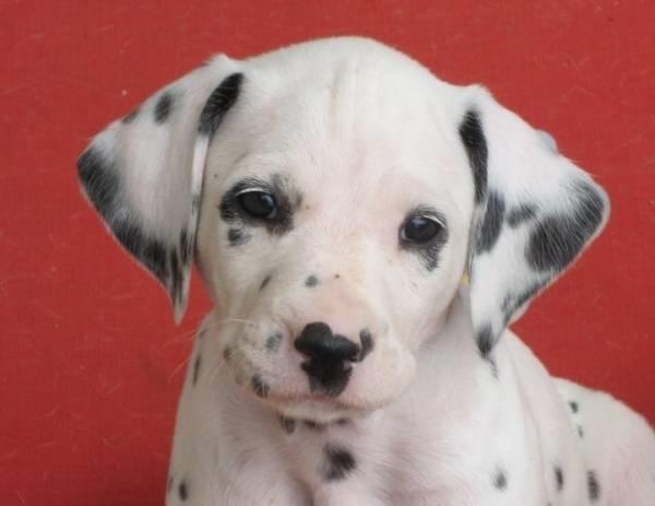 Dalmata Cuccioli Cani Taglia Grande Caratteristiche Dei Cuccioli