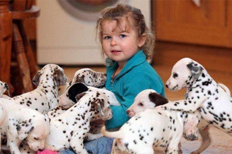 Il dalmata viene allevato come cane da compagnia