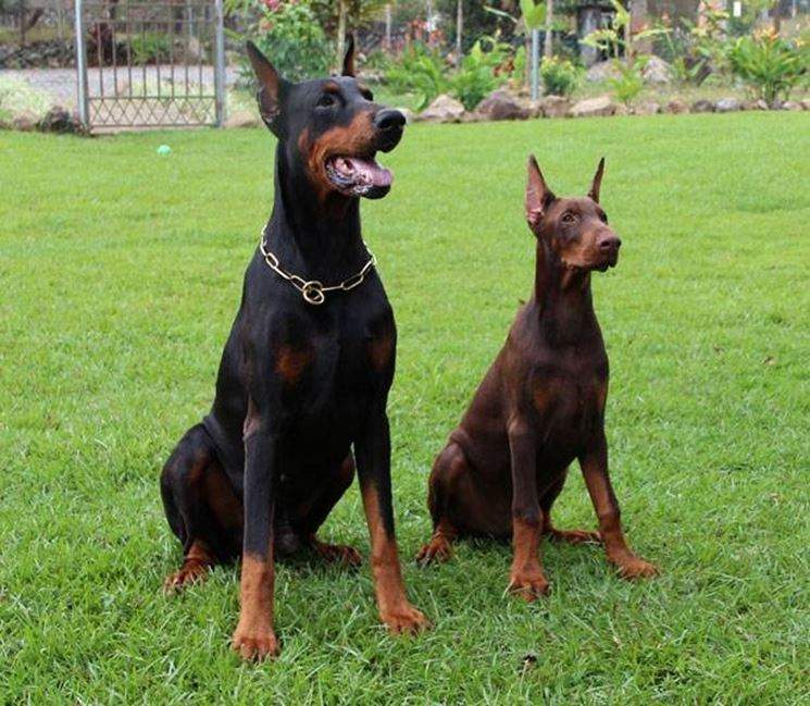 esemplari di cani dobermann