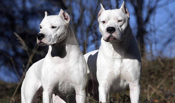 Il dogo argentino non è un cane aggressivo
