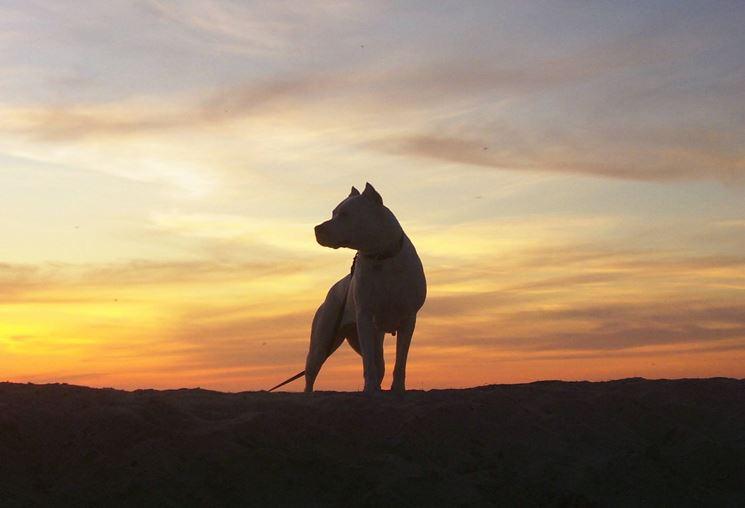 Il dogo argentino ha bisogno di passeggiate quotidiane
