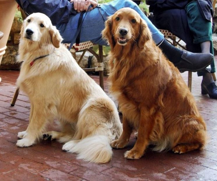 Esemplari di Golden Retriever