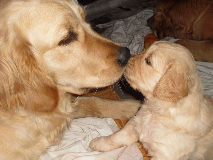 Golden retriever con cucciolo
