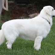 Golden Retriever bianco