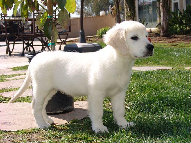 Un cucciolo bianco
