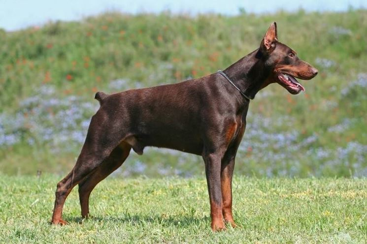 cane adulto