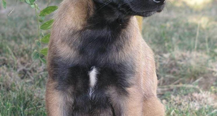 cucciolo di malinois