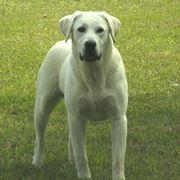 Labrador bianco adulto