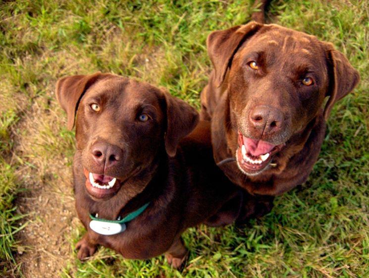 Labrador cioccolato
