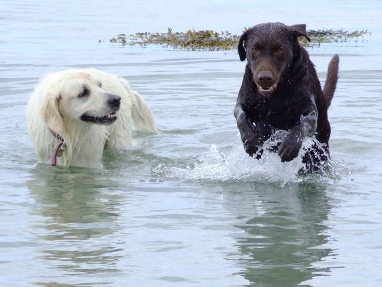 Volete far divertire il vostro labrador? Portatelo a fare il bagno!