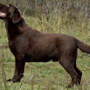 Labrador marrone maschio
