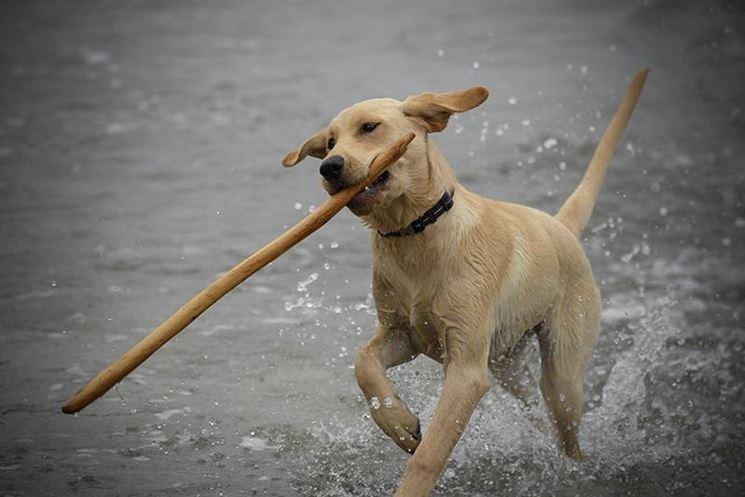 Labrador miele in acqua