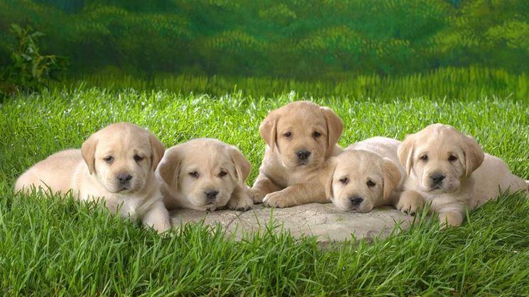 Cuccioli di labrador miele