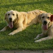 Cani della famiglia dei Retriever