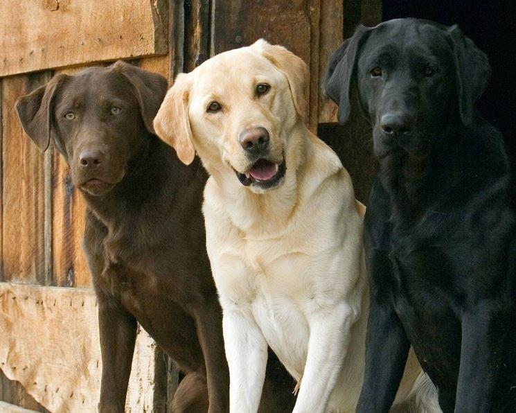 Le tre colorazioni del Labrador