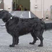 Labrador a pelo lungo