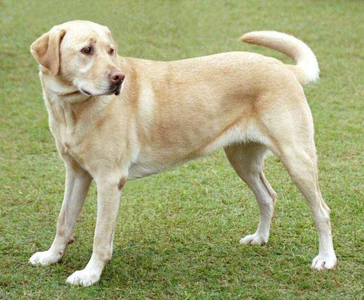 Labrador adulto