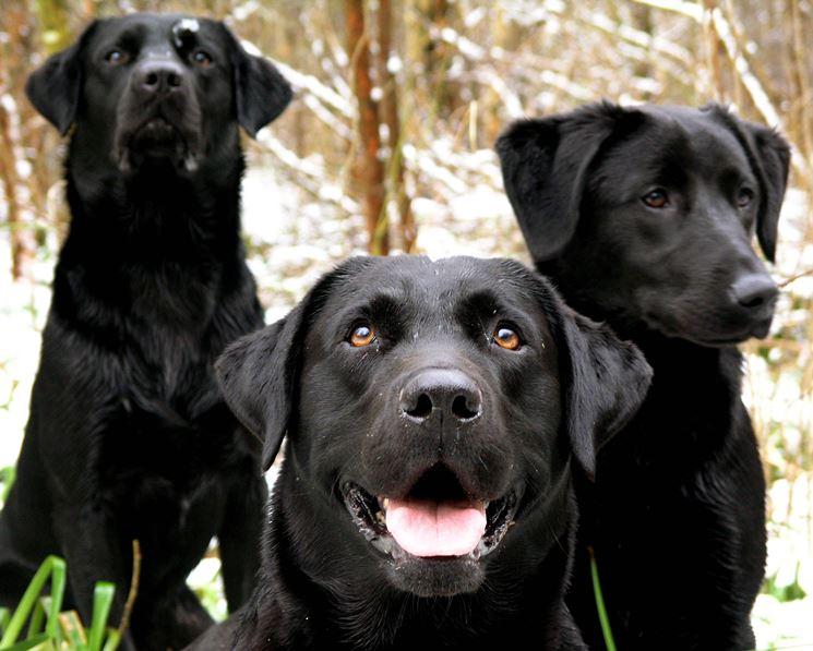 Labrador neri