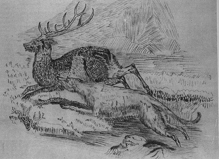Illustrazione caccia del levriero irlandese