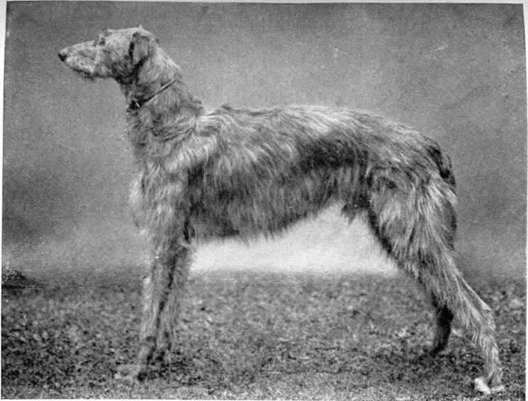 Levriero scozzese del 1910