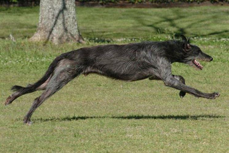 Il levriero scozzese è molto veloce