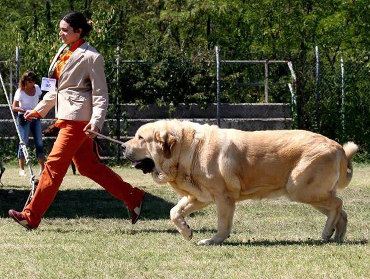 Il mastino spagnolo è un cane muscoloso e potente