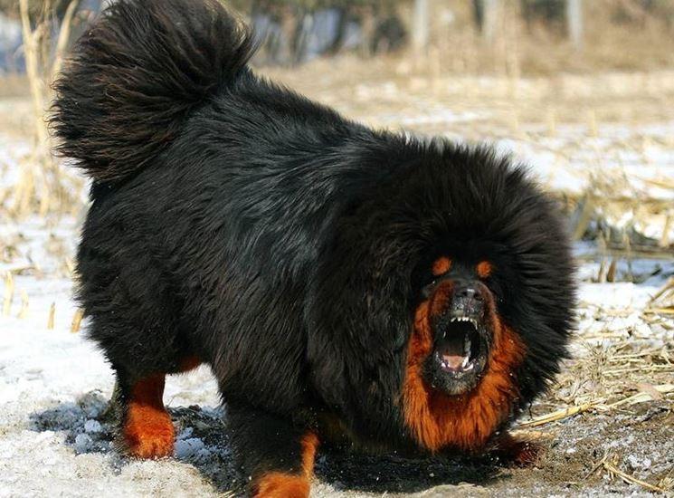 Mastino Tibetano Gigante Cani Taglia Grande Mastino