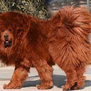 Mastino tibetano a pelo rosso