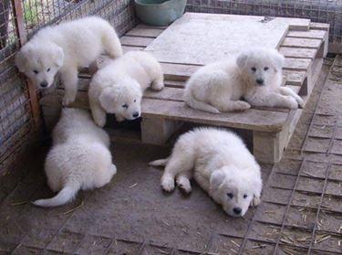 Cuccioli pastore maremmano
