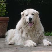 pastore maremmano cucciolo