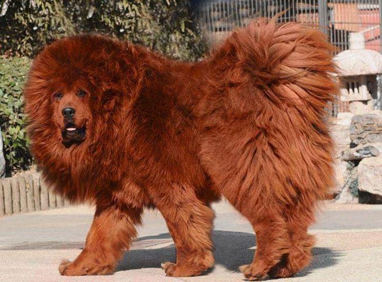 Pastore tibetano cani taglia grande caratteristiche for Arredamento pastore