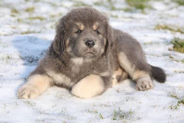 Pastore tibetano cucciolo