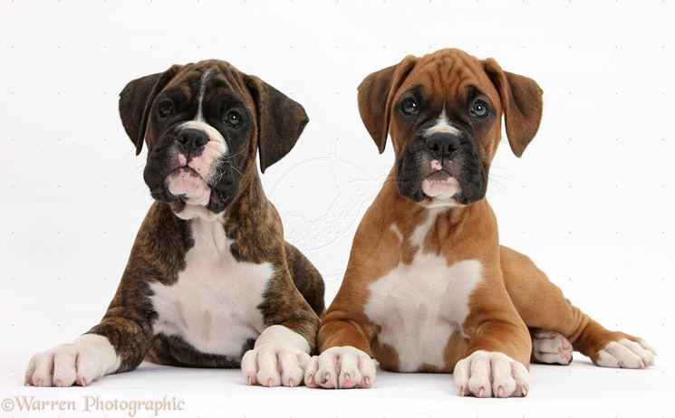 Cuccioli di boxer